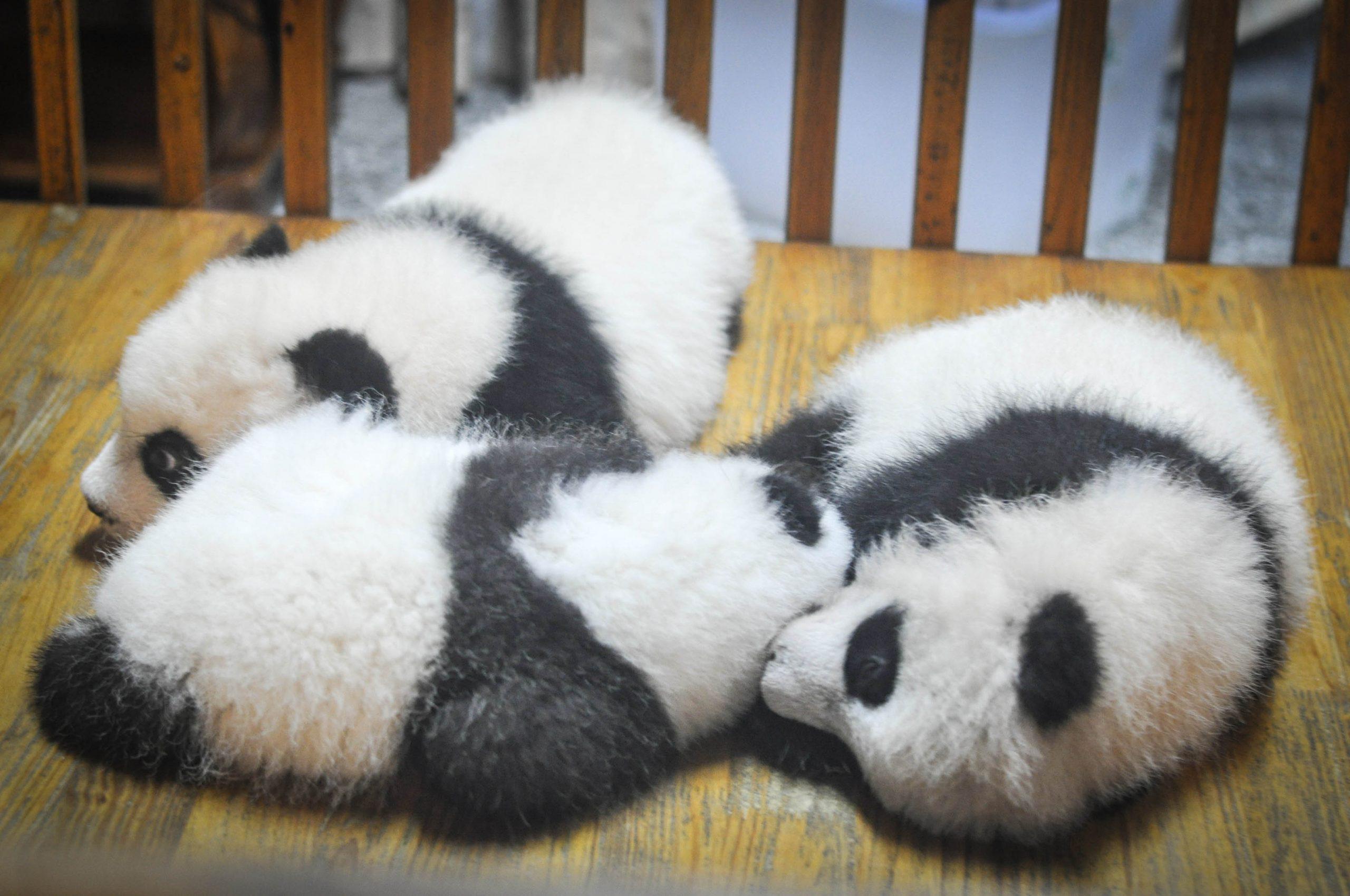 Baby Pandas in Chengdu, China